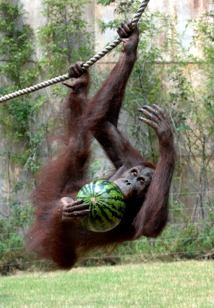 An orangutan opens wide for a fruity bite in Yongin, South Korea.