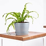 Bloomscape Potted Bird's Nest Fern