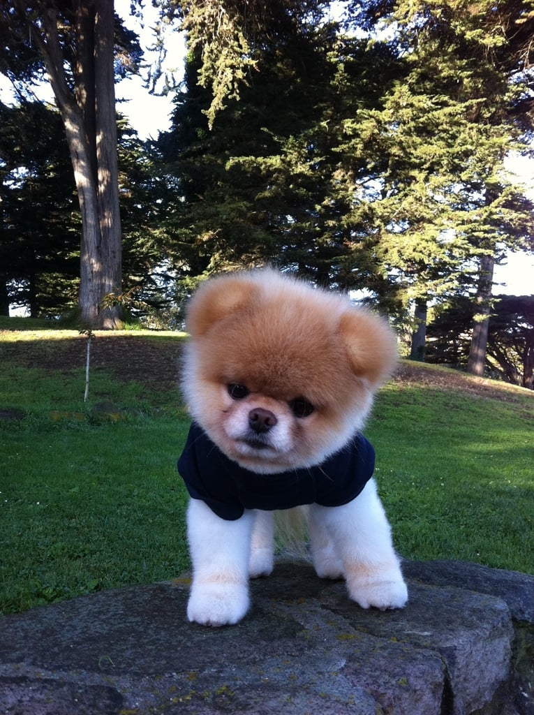 Cute Boo Dog Pictures