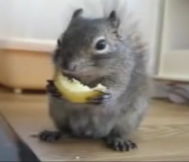 Cute Alert: Squirrel Enjoys a Lemon
