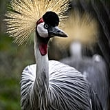 The gray crowned crane is one of only two crane species that can roost in trees, thanks to a long hind toe that can grasp branches.