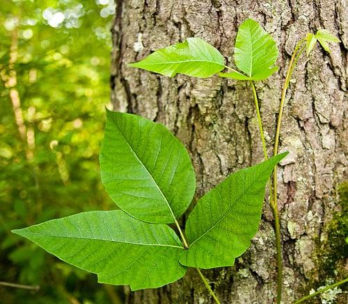 Poison Ivy Remedies