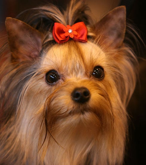 2. Yorkshire Terrier