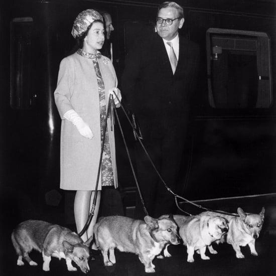 صور كلاب الملكة إلزابيث الثانية من سلالة الكورجي