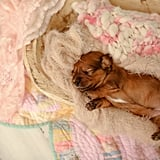 Adorable Dachshund Newborn Photo Shoot | Laura Shockley