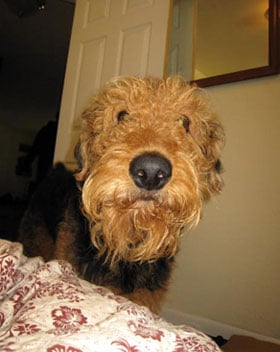 Airedale Terrier Trivia