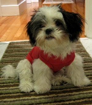 shih tzu temperament lively what do you know about shih tzus popsugar pets 8880