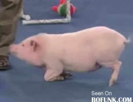 Cute Alert: Porcine Einstein
