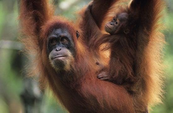 Orangutan Island Premieres Tonight!