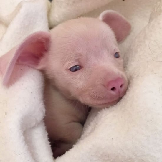 Meet Piglet, the Pink Puppy Who Is Blind and Deaf