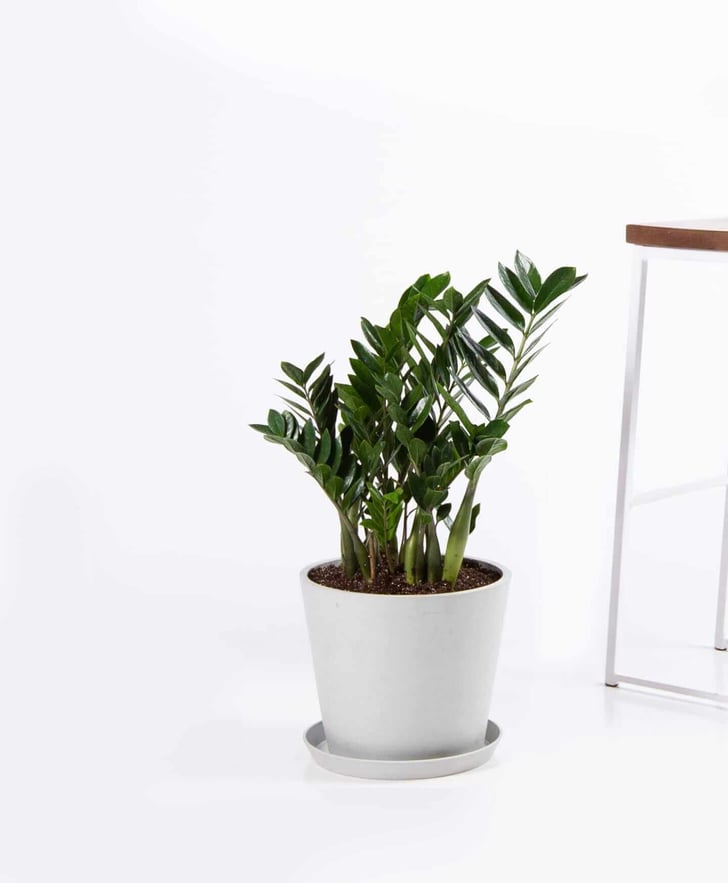 Zz Plant Outdoors