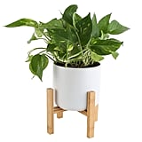 Golden Pothos with Stand