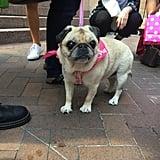 Violet Pug, a Chicago Native