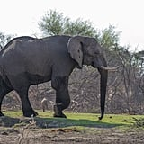 Elephants are the only mammals that can't jump. Elephants express grief, compassion, self-awareness, altruism, and joy.