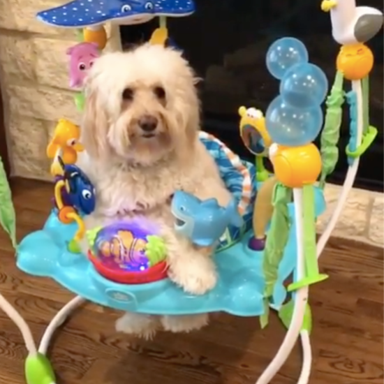 Goldendoodle Playing With Baby Toys