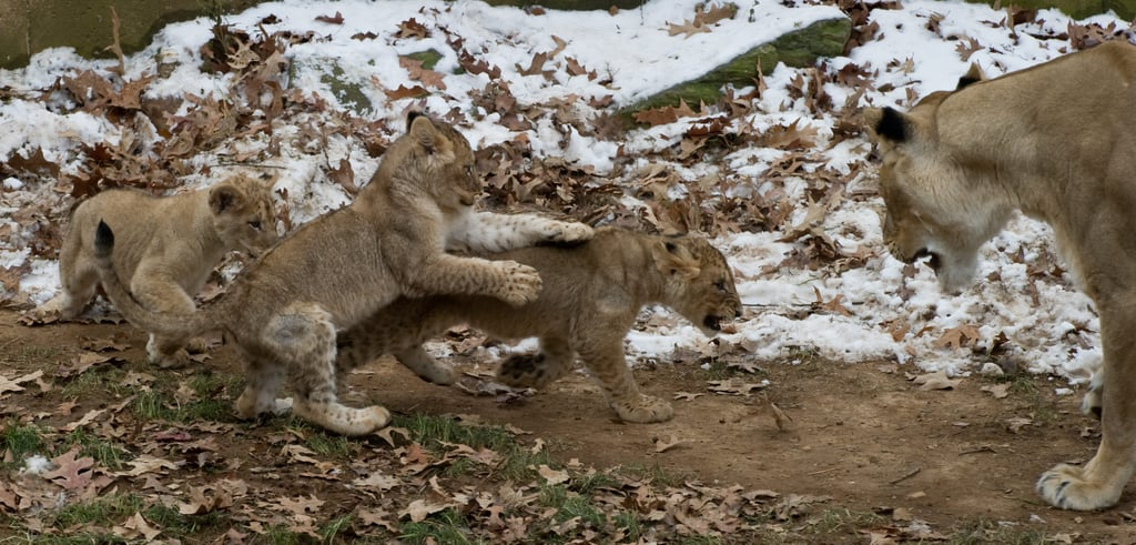 Lucky Sevens! See the National Zoo Lion Cubs Frolic and Play