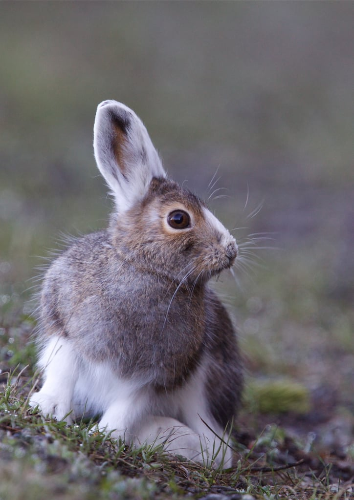 Fall Snowshoe Hare