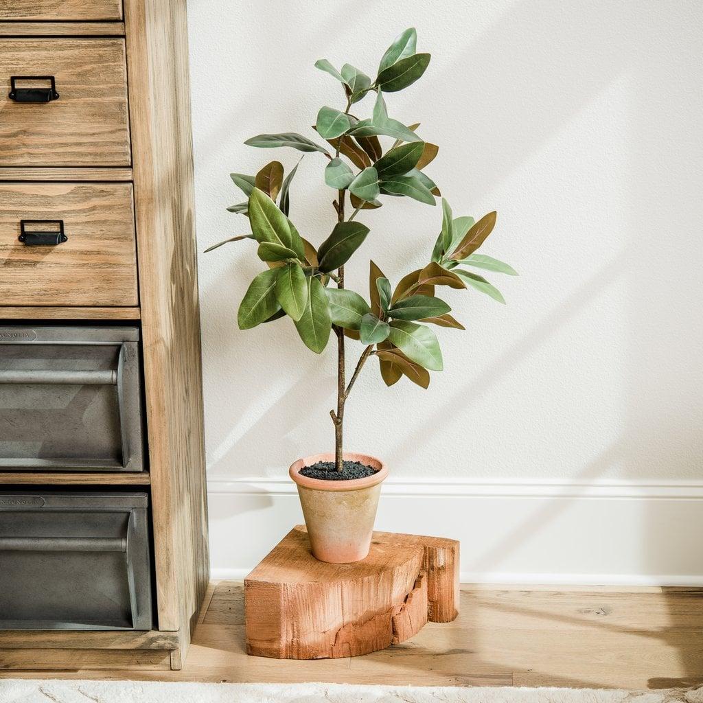 Potted Magnolia Sapling