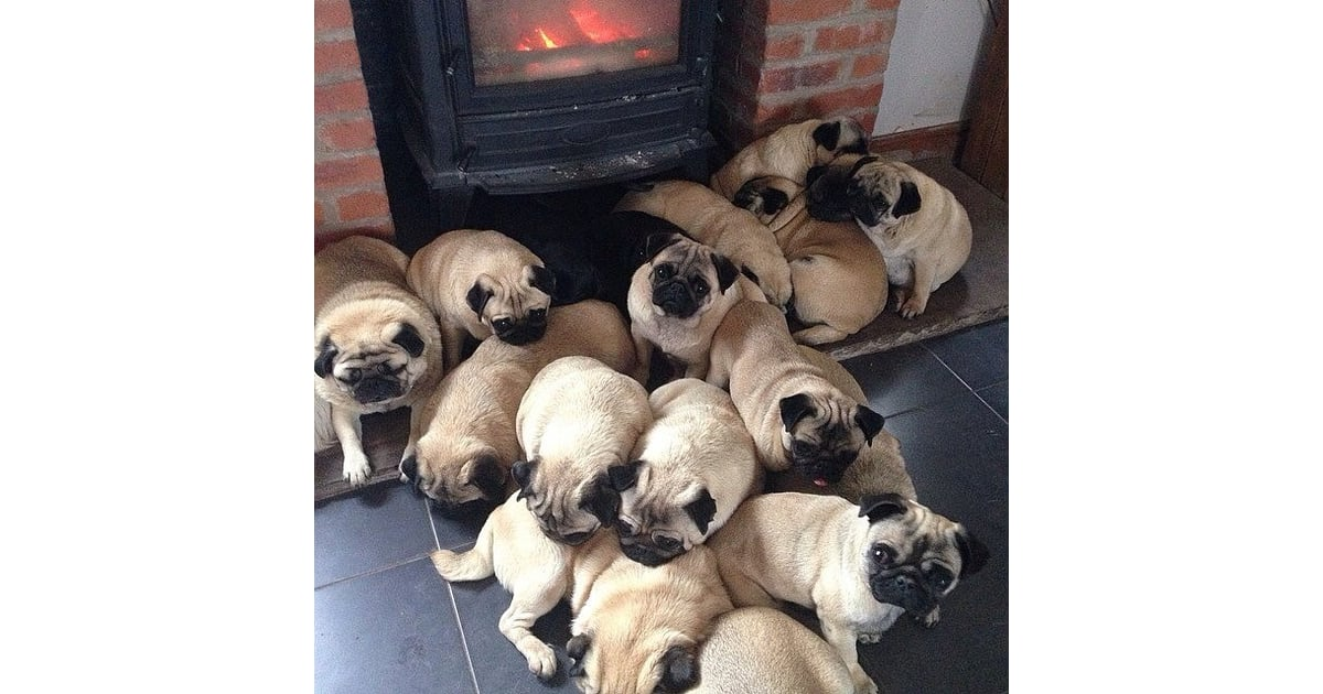 A Group Of Pugs Is Called A Grumble Facts That Make You