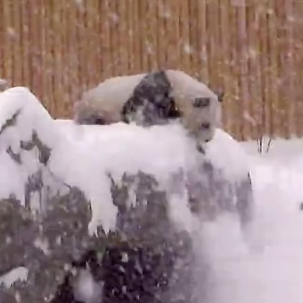 Panda Bear Falls at Toronto Zoo | Video and GIF