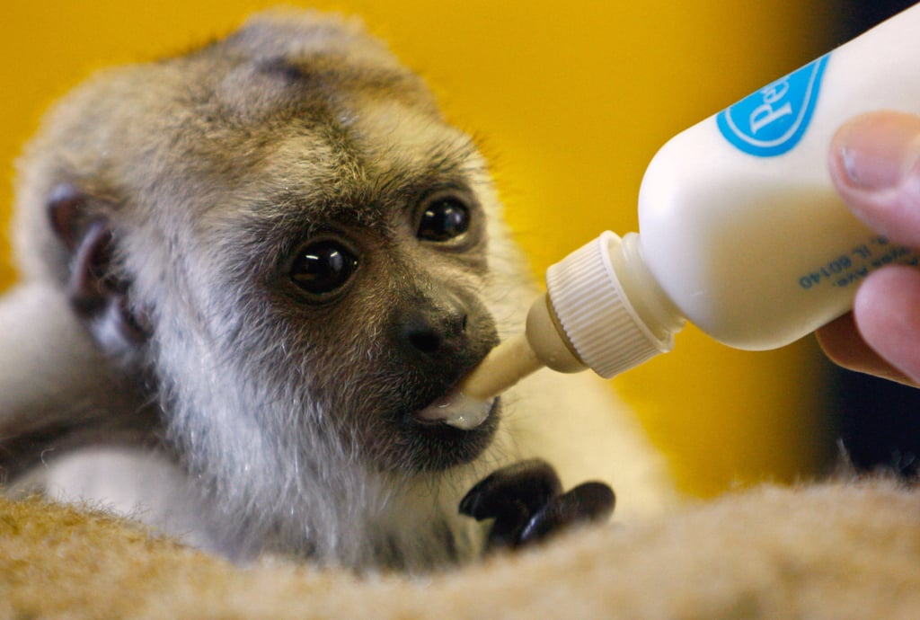 Super Cute Gallery: Baby Black Howler Gets Bottle Fed!