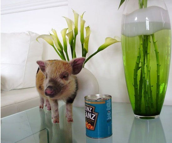 Micropigs Hit the Scene Big Time