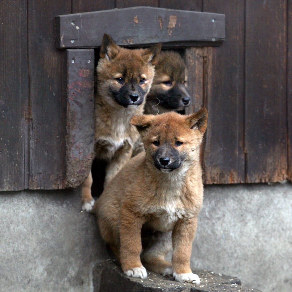 Pictures of Cute Baby Dingoes