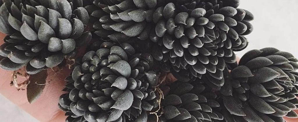 Black Succulents