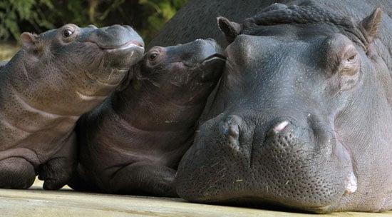 Three Baby Hippos Play at Zoo Hamburg (Tierpark Hagenbeck Hamburg)