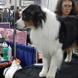 Most dogs don't have just one human or one human family. After chatting with several people on the expo floor, I learned that most dogs have a breeder, who may stay in their lives, an owner, a handler, and sometimes even someone else who will take care of them. It takes an army to care for a show dog, it seems!