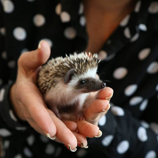 Hedgehog Cafe in Japan