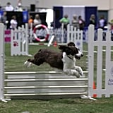 An English Springer Spaniel conquers a jump during the Agility competition. Source: AKC/Lisa Croft-Elliott