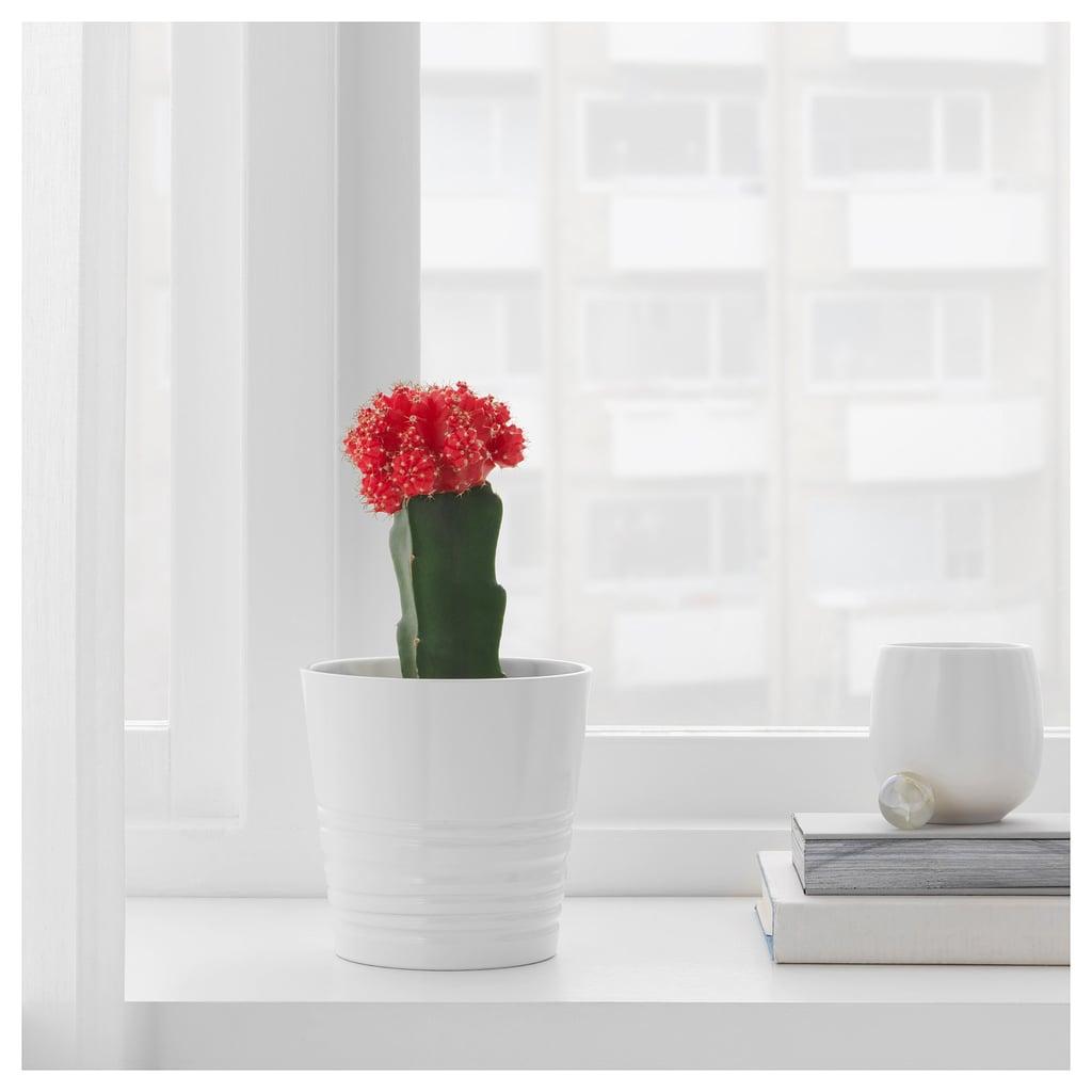 Gymnocalycium Potted Plant