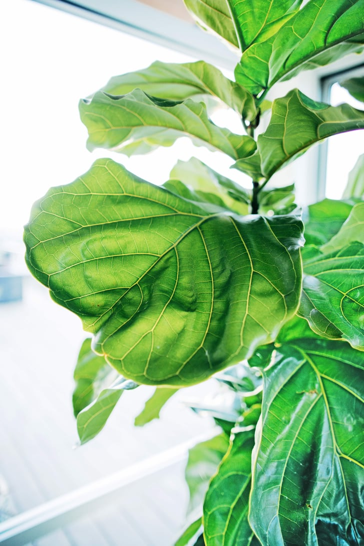 Where To Buy Cheap Fiddle Leaf Fig Trees Popsugar Home