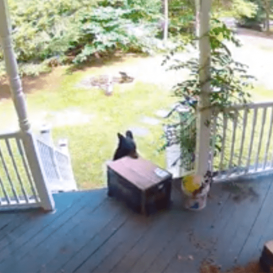 Video of Bear Stealing Chewy Box Off Porch