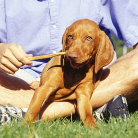 Vizsla Facts and Trivia