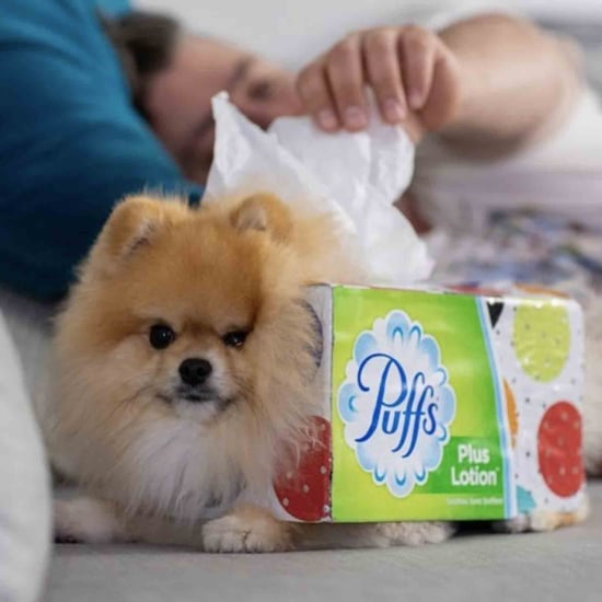 Pomeranian Dog's Tissue Box Halloween Costume Photo