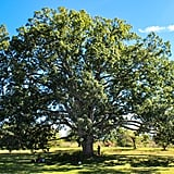 Plus, there's a gorgeous — not to mention gigantic — old oak tree in the middle of the orchard that makes for the perfect picnic spot.