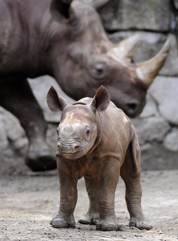 Baby Black Rhino at Tokyo's Ueno Zoo! Photo 4