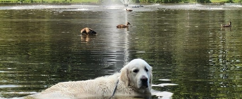 Video of Golden Retriever Swimming in Duck Pond