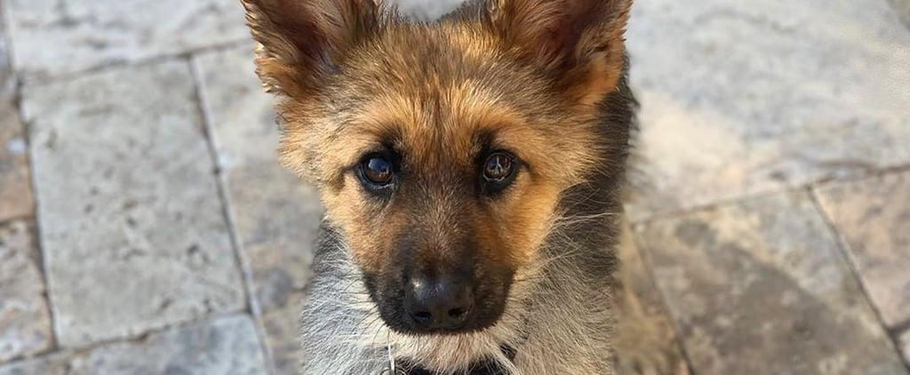 Ranger the Dwarf German Shepherd Looks Like a Puppy | Photos