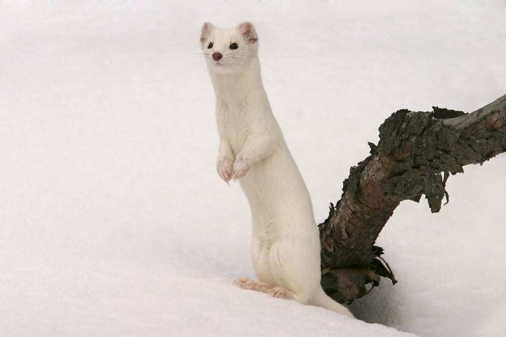 Winter Stoat