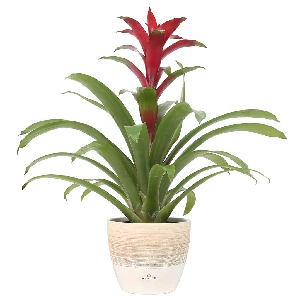 Red Bromeliad