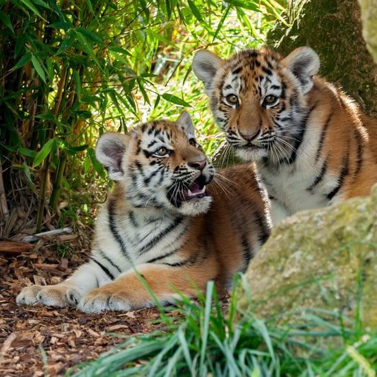 Mother Tiger Licking Baby Tiger