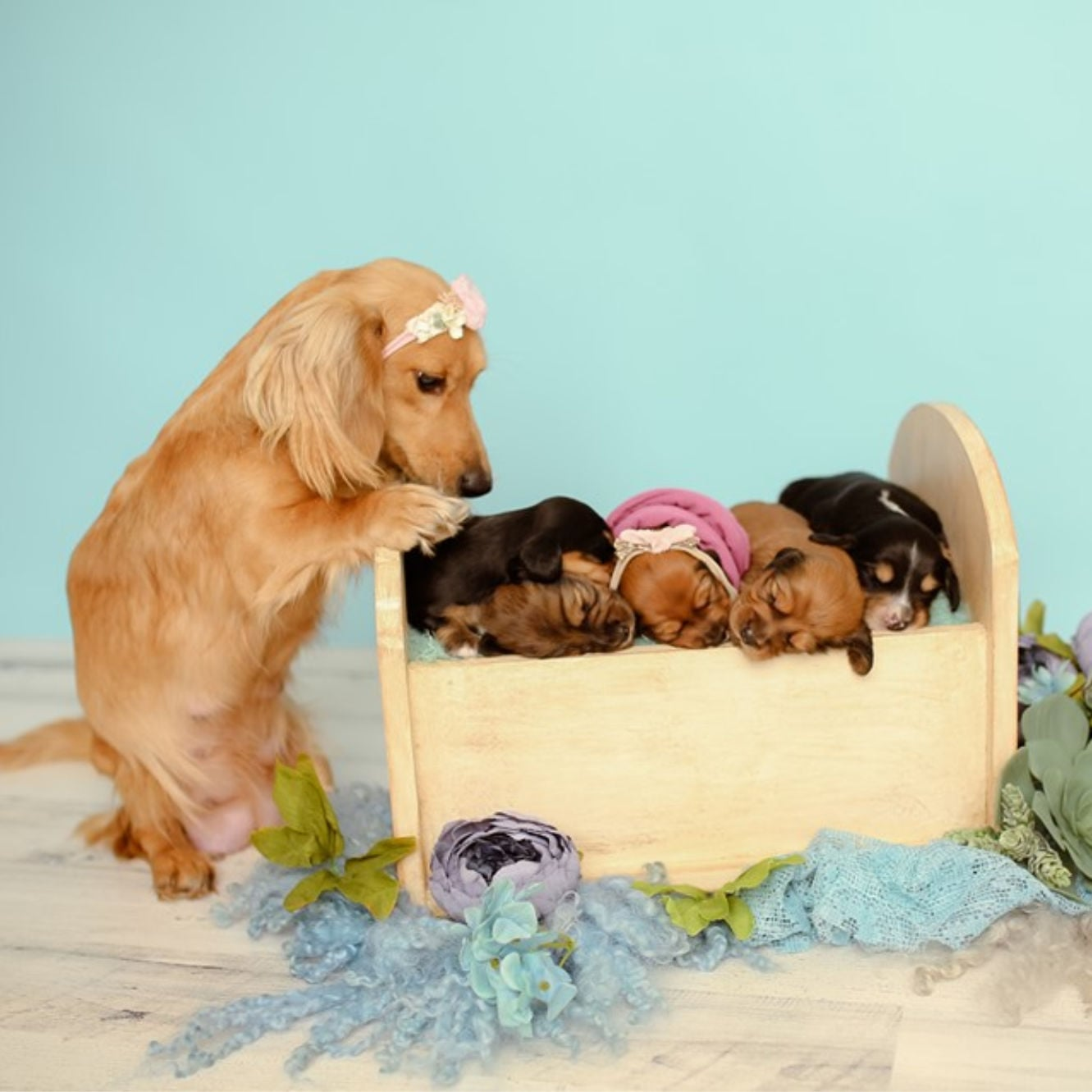 Adorable Dachshund Newborn Photo Shoot Laura Shockley Popsugar Pets