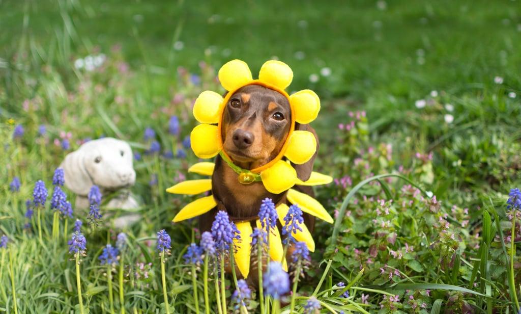 Cutest Dachshund Photos