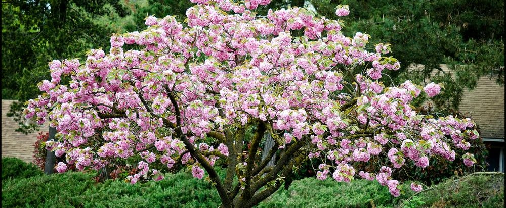 Home Depot Is Selling Cherry Blossom Trees For $39