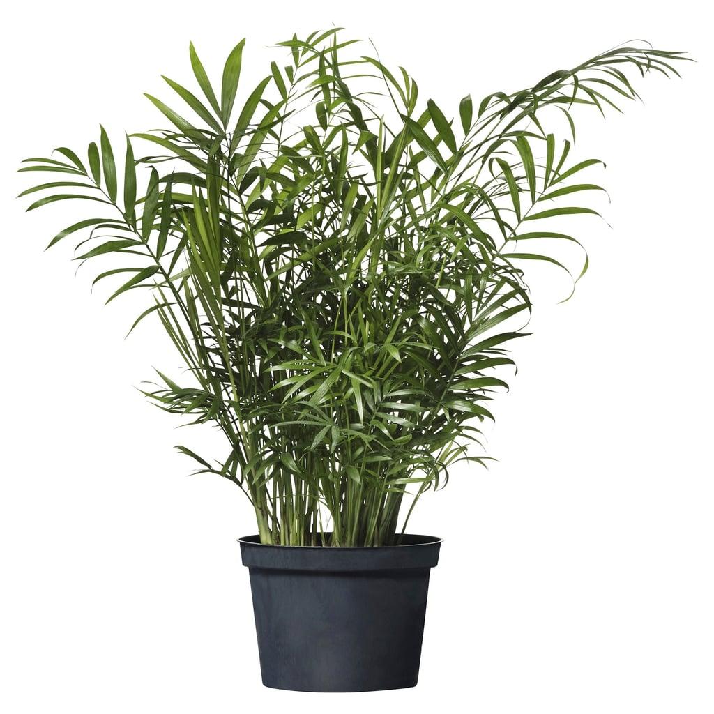 Chamadorea Elegans Potted Plant