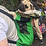 Pug-asorous Rex