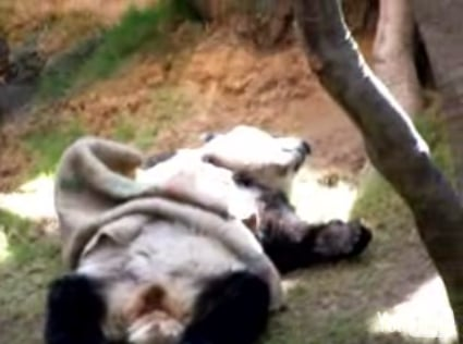 Panda Takes a Nap